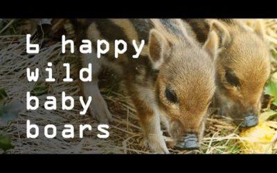 HAPPY WILD BABY BOARS