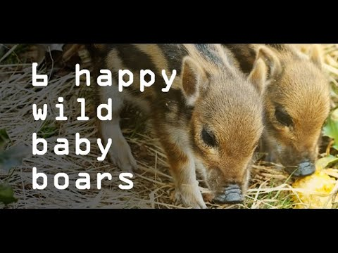 HAPPY WILD BABY BOARS